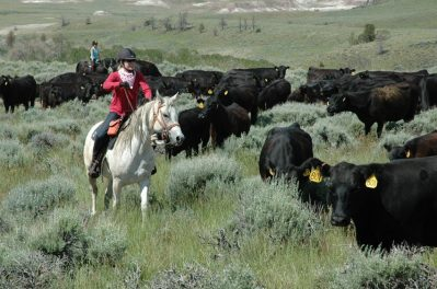 Cattle drive in Wyoming